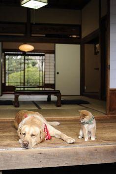 豆助(右)とまさお君がコラボ                                                                                                                                                                                 もっと見る Mini Puppies, Cute Puppies, Cute Dogs, Japanese Dog Breeds, Japanese Dogs, Animals And Pets, Baby Animals, Cute Animals, Corgi Dog