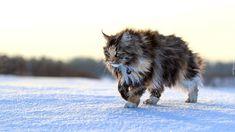 Kot, Maine coon, Zima, Śnieg