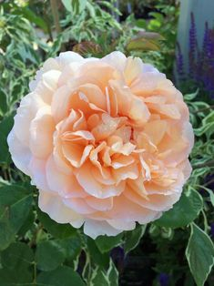 Image result for The lady gardener rose