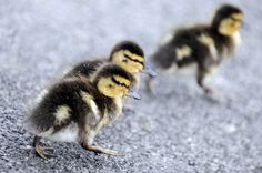 Ducklings Caught In Dine-And-Dash At Granary