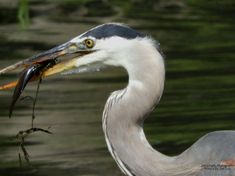 Catch of the Day on the Bay of Quinte. July 5, 2021 Flash Photography, Photography Photos, Blue Heron, National Geographic, Bird, Nature, Animals, Pictures, Photos