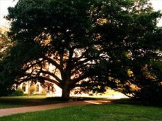 The Century Tree, the site of countless Aggie marriage proposals.