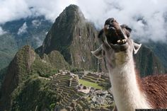 Machu Picchu trip is totally happening.hopefully without Zombie Llama. (Best photobomb ever)my dad's friend and I renamed llamas to derps Llama Pictures, Funny Animal Pictures, Funny Animals, Cute Animals, Adorable Pictures, Wild Animals, Free Pictures, Alpacas, Machu Picchu