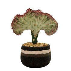 Coral Cactus in 4 in. Stripe Black Pot