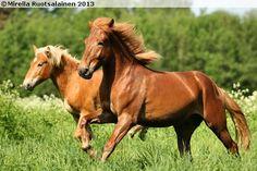 Finnhorse Ponies, Finland, Flora, Pictures, Animals, Photos, Animales, Animaux, Plants