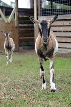 French Alpine dairy goats. My favorite breed from when I was an active breeder.