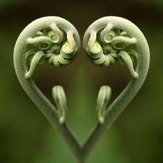 La magie de Fibonacci dans la nature, les maths de Dieu … The magic of Fibonacci in nature, the maths Heart In Nature, All Nature, Heart Art, Nature Images, Amazing Nature, Fern Images, True Nature, Fibonacci In Nature, Fibonacci Spiral