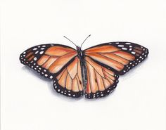 Monarch Butterfly original watercolor 8x10 by annbooth9 on Etsy, $75.00