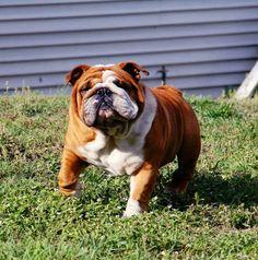 English bulldog playing outside!