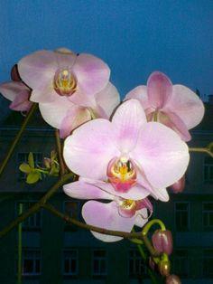 Rosa Plants, Pink, Orchids, Plant, Planting, Planets