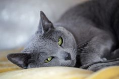 Is the Russian Blue Cat the right cat breed for you? Information on the Russian Blue Cat including breed size, temperament, health, pet insurance & more. Gato Manx, Manx Cat, Large Cat Breeds, All Cat Breeds, Grey Cats, Blue Cats, Russian Blue Kitten, Nebelung, Gatos Cat