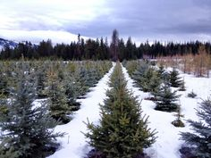 Rows of young blue spruce trees.