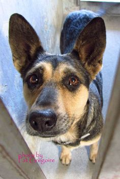 A4777843 My name is Kyla. I am a very friendly 1 yr old female brown/black German Shepherd mix. I came to the shelter as a stray on Nov 19 (along with A4777837 - Shilo - next photo). available 11/23/14 Baldwin Park shelter Open for Adoptions 7 days a Week 4275 Elton Street, Baldwin Park, California 91706 Phone 626 430 2378 https://www.facebook.com/photo.php?fbid=877171762294662&set=a.705235432821630&type=3&theater