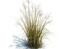 Prairie dropseed sporobolus heterolepis prairie for Spiky ornamental grasses