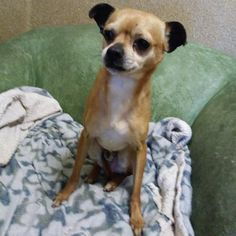 Chug /CHəɡ/ n. Part Chihuahua, part Pug, 100% cute!  I'm Kita, a sweet and affectionate 6 year old Chihuahua mix(Chug) looking for a nice quiet home. I'm the ultimate lap dog and ready to be your new best friend! Even though I've lived with dogs and kids before, to make the best match possible,  bring all family members and current dog(s) to meet me. Come say hi and ask for Kita ID#A826690