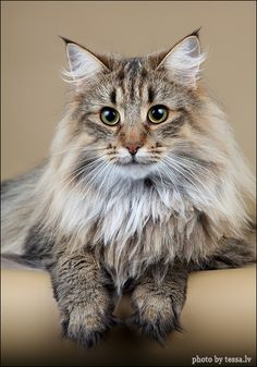 Norwegian Forest Cat! ❤ opawz.com  supply pet hair dye,pet hair chalk,pet perfume,pet shampoo,spa....