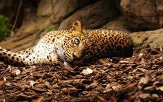 ヒョウは、地上、目、石を横たわっ 壁紙 - 2560x1600