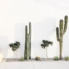 cacti and small trees against white wall. / sfgirlbybay