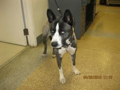 SHILO - ID#A712070  My name is SHILO.  I am a male, gray and black Alaskan Husky.  The shelter staff think I am about 1 year old.  I have been at the shelter since Apr 25, 2013.