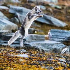 Arctic Fox - Sometimes cameras provide the best shots! Photo by ProStaff Even Hønsen Agerup. Check out this highly talented photographer at @even_agerup for more top notch content!                      #vornprostaff #vornequipment #dovrefjell #norway #fox #hunting #cabelas #basspro #norgesjegere #swe_hunters #nordichunter #outdoors #landscape #nature #jakt #hunter #jagd #nikon #nasjonalparkriket by vornequipment