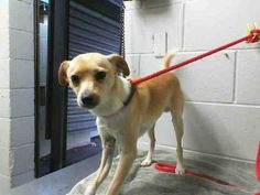 BUZZ - #A476409 Release date 12/10 My name is BUZZ! I am a male, tan and white Chihuahua - Smooth Coated. Shelter staff think I am about 1 year old. I have been at the shelter since Dec 03, 2014. City of San Bernardino Animal Control-Shelter. https://www.facebook.com/photo.php?fbid=10204069013103189&set=a.10203202186593068&type=3&theater