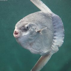 This has to be one of the weirdest fish ever. It's an ocean sunfish (aka mola mola), which can weigh as much as 2,200 pounds. Freaky and fabulous, yes? (Photo by OpenCage.) Nature is the Greatest Artist