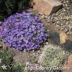 "1"" x 5-8"" wide (cutting propagated) You'll marvel at the beauty 'Lemhi Purple' brings to early spring in the xeric garden. The remarkably large, bi-colored blue and lavender flowers cover the plants for nearly a month in early spring. When blooming is done, 'Lemhi Purple's tight mat of gray-green foliage looks nice year round. It's small enough to tuck around many other smaller growing xeric plants. Along with Phlox grayi, this is another indispensible western native Phlox that need a place i..."