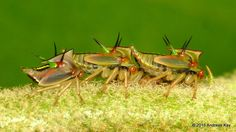 Treehoppers, Alchisme grossa, juveniles