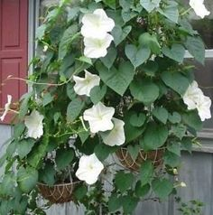 Moonflower the most amazing scent of all to me i used to love full size picture of moonflower moon vine giant white moonflower ipomoea alba mightylinksfo
