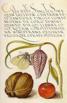 Imaginary butterfly, snakeshead, English walnut and sweet cherry by Joris Hoefnagel (Flemish, 1542–ca.1601) from Mira Calligraphiae Monumenta, illuminated by Joris Hoefnagel with calligraphy by Georg Bocskay