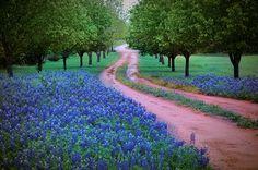 Southern weddings - bluebonnets in Texas