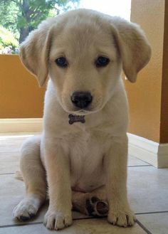 Mila the Labrador Retriever