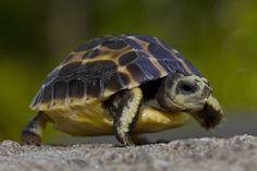 Madagascar spider tortoise