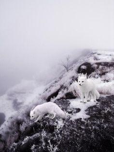 Twitter, White Winter Foxes pic.twitter.com/x7dE2FFx0S