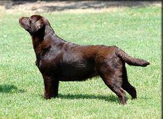 The English style Labrador Retriever
