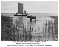 Karkeln, Elch und Kahn am Haffufer. A large elk (native to the region) and a fishing boat on the Frisches Haff, the freshwater lagoon next to the Baltic sea. Jeff