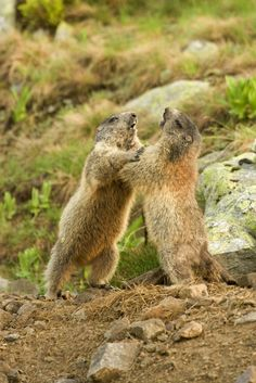 hra či zápas. Marmot Tatra Mountains (Slovakia) in our country the world's endemic. Its population is estimated at about 200 colonies and 1,200 individuals. He lives in a beautiful environment, where we literally offers the possibility to create beautiful photos. Marmot is protected by law,