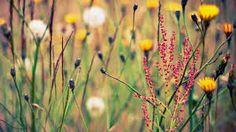 Image from http://getwallpapers.net/wallpapers/l/1920x1080/40/grass_depth_of_field_wildflowers_1920x1080_39339.jpg.