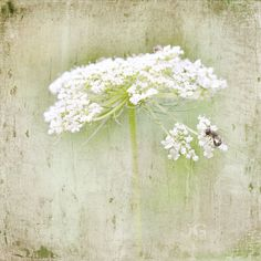 on Queen Anne's Lace