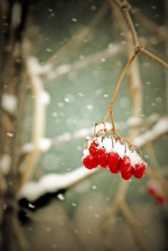 Winter Print - Winter Berries - 10x15 Fine Art Photograph snow red berries home decor trees branches