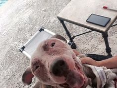 """11/28 UPDATE: Pauley was adopted from Miami Dade Animal Shelter (MDAS) last year (2014) as a healthy dog. He was brought back to MDAS as a """"stray"""" the other day in this horrific condition. Pauley's face is covered in open sores, scabs, and is infected to the point that he cannot open his eyes, his entire body..."""