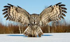 Coruja de asas abertas