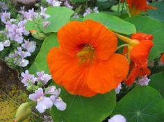 Oranžový květ lichořeřišnice