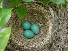nest images | robin's nest May 23, 2005