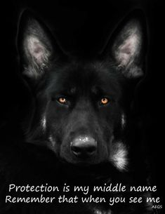 GSD - wanting to protect comes naturally for the GSD