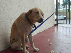 He's scared and tense and this four-year-old Labrador retriever was found as a stray roaming the streets of Miami scavenging for food. His family has not come to the shelter looking for him, and each day Manoli grows more depressed. On Sunday, he was made available for adoption, but still no one stopped in front …