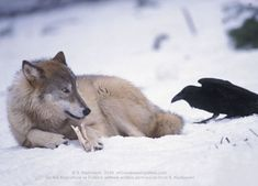 "Ravens & Wolves!!! This partnership is common in the real world, as both Ravens and Wolves share common habitats. Aside from ravens enterprising on wolves as competent providers of food,Ravens are also extremely playful, earning them the legendary nickname of ""trickster."" One of their favorite games is tail-pulling, which has been observed as perpetrated on larger birds of prey, wolves, big cats and even people. In one account, ravens were seen perching on the roof of a local supermarket…"
