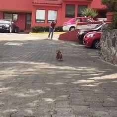 Dachshund jump