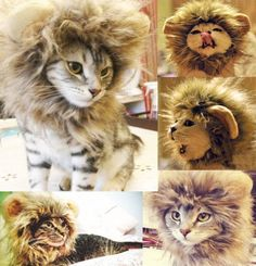 lol... i need one of these for Jersey!  Generic Pet Costume Lion Mane Wig for Cat Christmas Xmas Santa Halloween Clothes Festival Fancy Dress up (Blending, M)