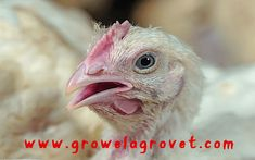 How To Do Poultry Farming in Summer – Growel Agrovet Poultry Production, Poultry Farming, Heat Stress, Environment, Summer, Animals, Summer Time, Animales, Animaux